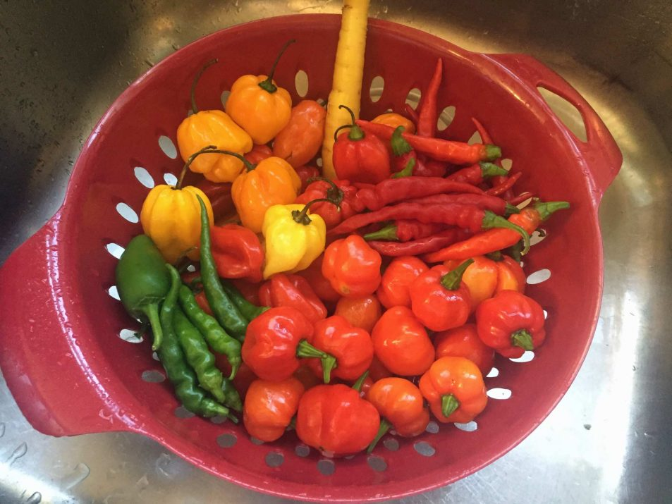 Colorful and fresh Hot Peppers for Hot Sauce