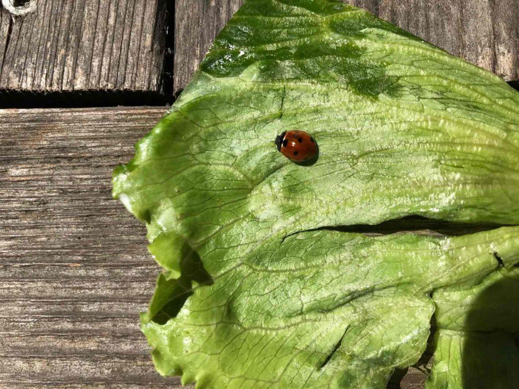 Ladybug on a lettuce leaf suburban gardening