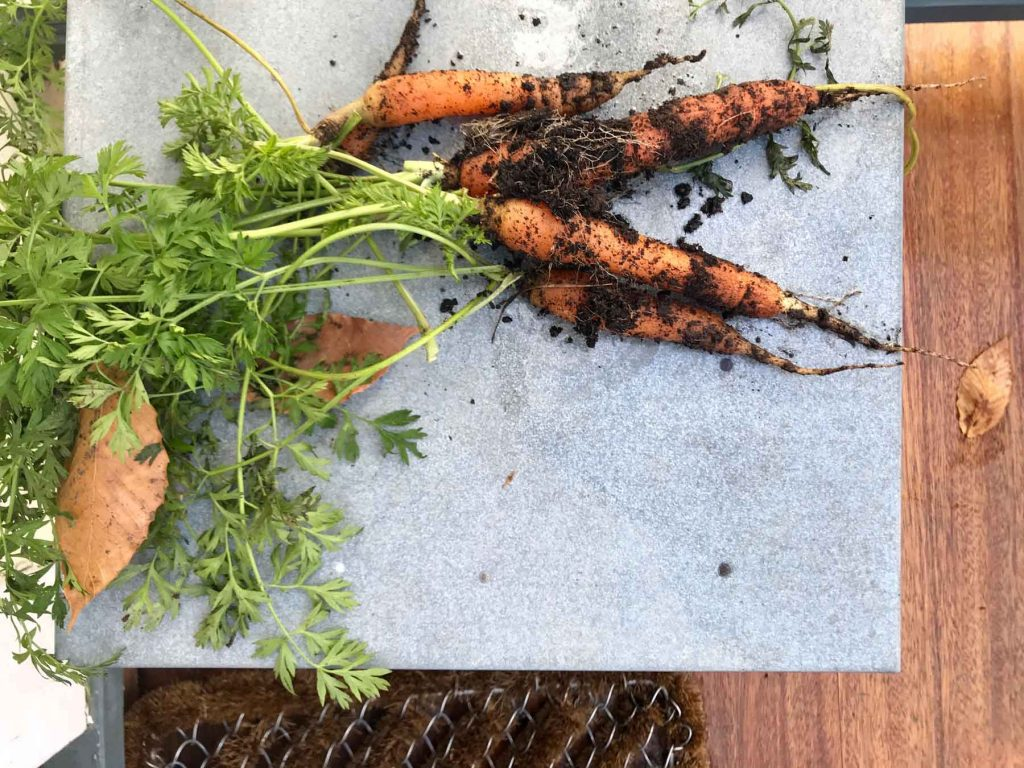 Carrots pulled from the earth suburban gardening